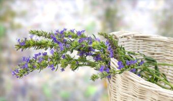 L'hysope : une plante multifonctions !