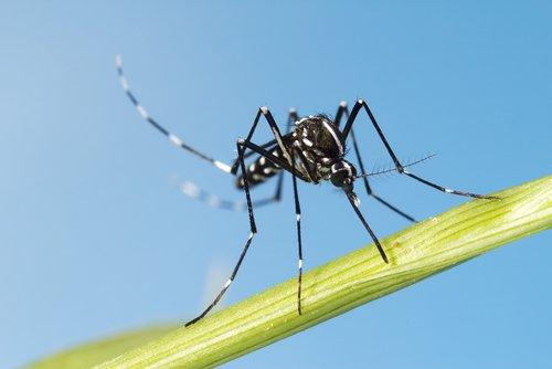 Pour tout savoir sur le moustique tigre