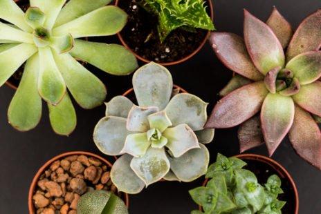 Les plantes succulentes sur le devant de la scène