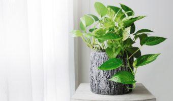Le pothos : une plante d'intérieur idéale pour les jardiniers débutants