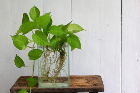Pothos : une agréable plante d'intérieur qui nettoie l'air !