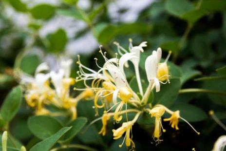 Chèvrefeuille, découvrez cette plante odorante