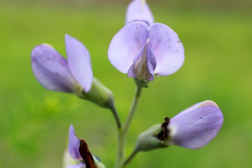 Photo of Le desmodium, la plante africaine du foie