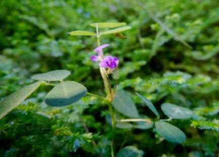 La plante amie du foie