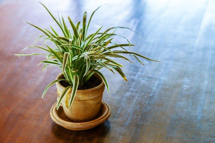Le dragonnier, une plante exotique facile à cultiver dans nos intérieurs