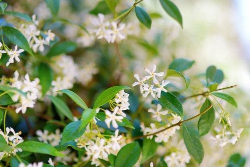 Le jasmin, une véritable plante médicinale