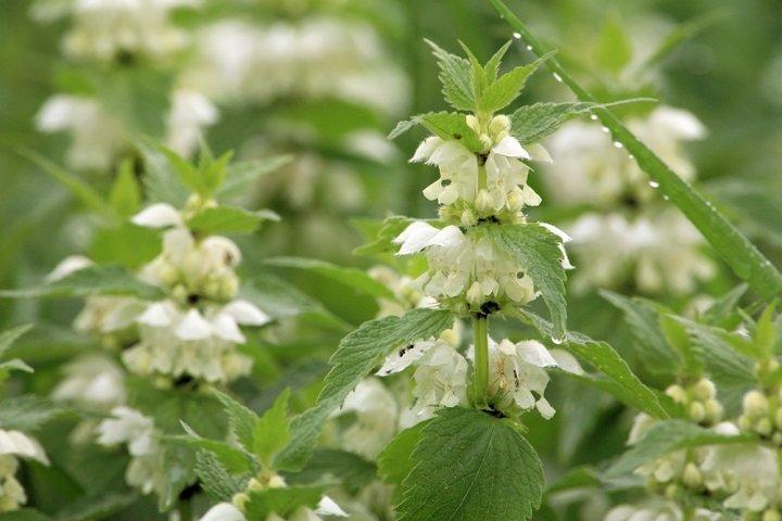Le lamier blanc, une plante médicinale méconnue