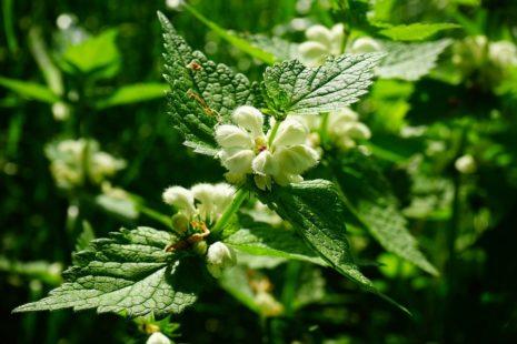 Une véritable plante médicinale