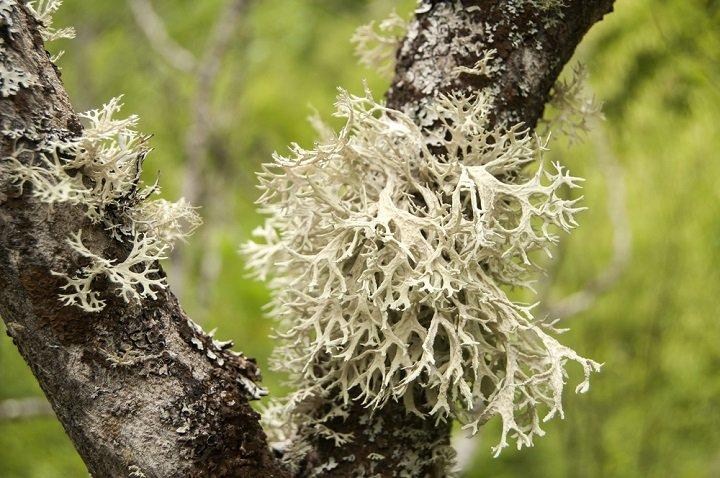Toutes les vertus du lichen d'Islande