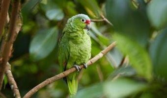 La perruche, parce qu'elle n'est pas le femelle du perroquet