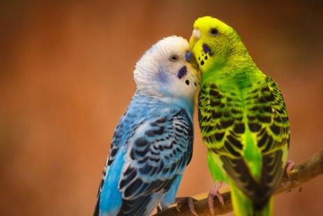 Adopter une perruche sans souci