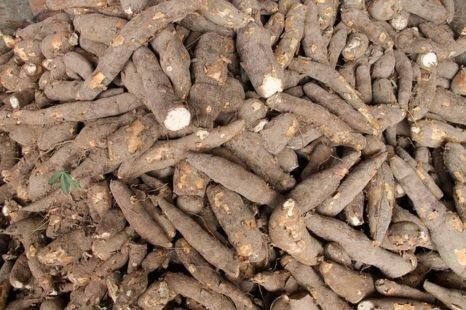 Les propriétés nutritionnelles du yucca décryptées