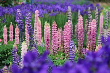 Planter du lupin : un sol drainé et sablonneux