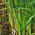Le jonc : une plante polyvalente
