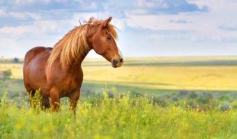 Le cheval, notre équidé le plus proche