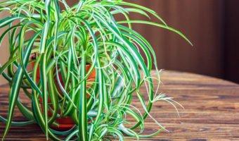Chlorophytum : une plante verte très facile d'entretien