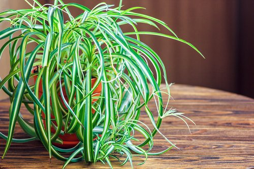 Chlorophytum, la plante araignée