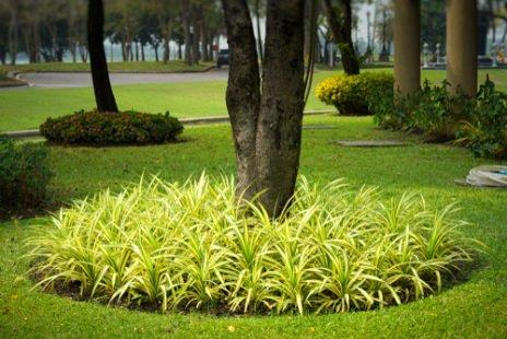 La plante araignée plantée en massifs en extérieur