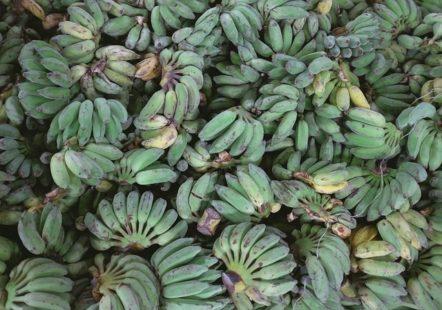 Comment consommer la banane plantain ?
