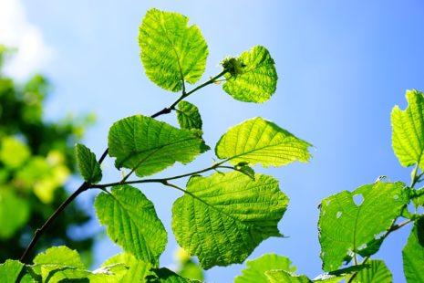 Les feuilles de noisetier préparées en infusion ont des vertus médicinales reconnues