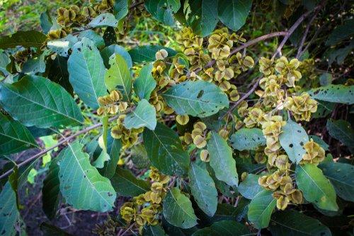 Le kinkéliba, la plante amie du système digestif