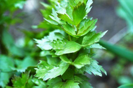 C'est une plante à la fois médicinale et aromatique