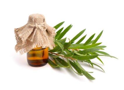 Melaleuca ou arbre à thé : une véritable plante médicinale !