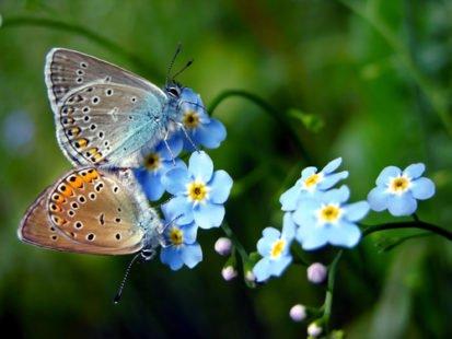 Papillons et myosotis des champs