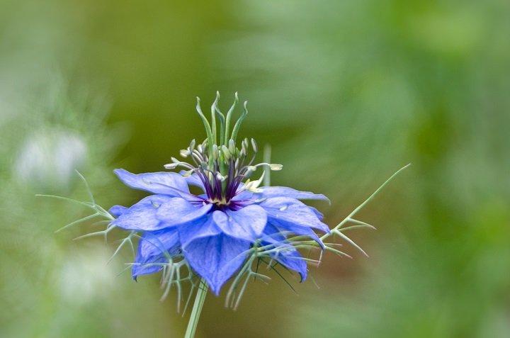 Nigella sativa : un fruit rempli de graines au coeur d'une fleur magnifique