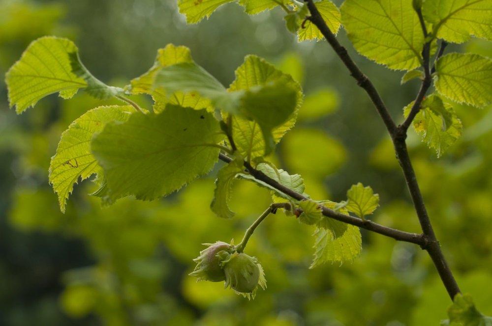 Noisetier : un arbre riche en vertus médicinales
