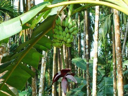 Les origines de la banane plantain