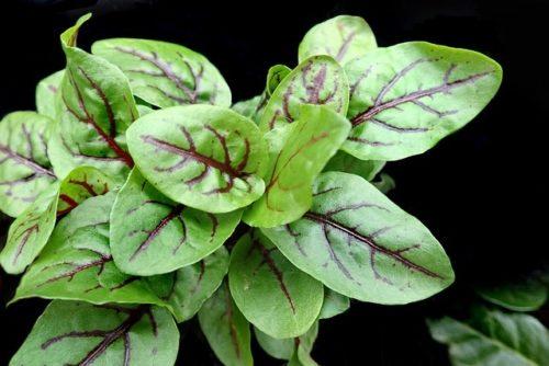 L'oseille : une herbe aromatique au goût acidulé et pétillant