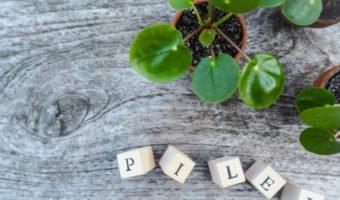 Piléa, la plante grasse à succès