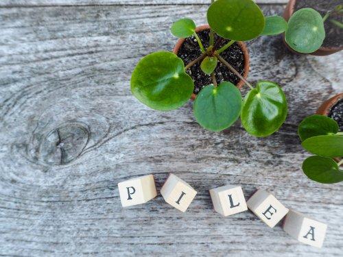 Piléa : une plante graphique facile à cultiver