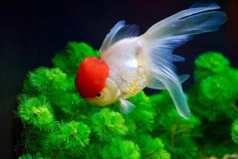 Le poisson rouge, un véritable animal de compagnie