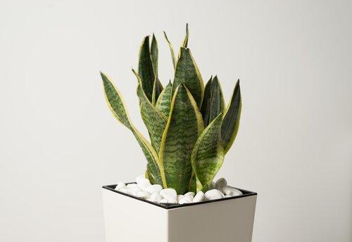 Sansevieria : une plante graphique à avoir chez soi