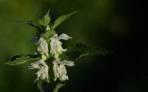 Ses fleurs blanches