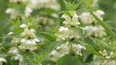 Photo of Lamier blanc : une plante pleine de vertus, elle vous attend !
