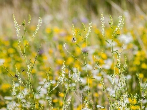 Le mélilot en fleur, en latin Melilotus officinalis