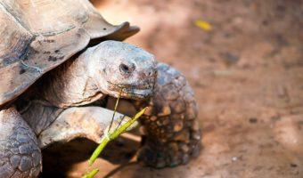 La tortue de terre, tout un univers