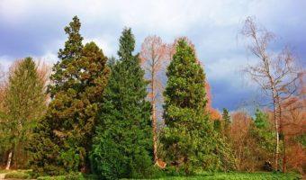 Le conifère : idéal pour un jardin d'ornement