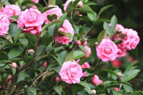 Camélia : une réputation difficile pour une floraison magnifique