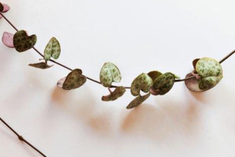 Le ceropegia woodii, une plante graphique, très à la mode et facile à entretenir
