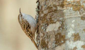 Le grimpereau, l'oiseau des troncs d'arbres