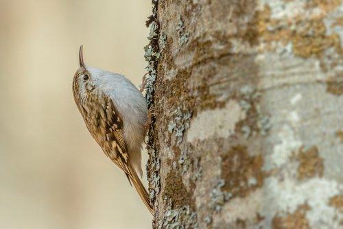 Grimpereau : petit oiseau grimpeur des tronc d'arbre