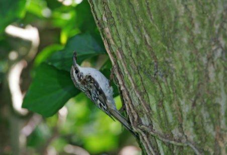 Petit oiseau grimpeur des troncs d'arbre
