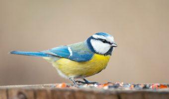 La mésange bleue, si jolie et tellement utile