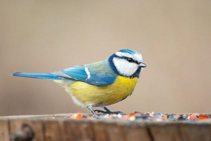 La mésange bleue, un passereau passionnant