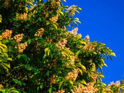 Marronnier d'Inde, un arbre emblématique aux nombreuses vertus