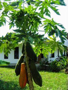 Jeune papayer